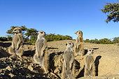 Meerkat or suricate (Suricata suricatta). Kalahari outside burrow. South Africa