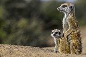 Meerkat or suricate (Suricata suricatta). Kalahari adult and juvenile. South Africa