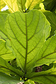 Fiddle leaf fig tree (Ficus lyrata) leaf