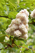 Baumann's horse chestnut (Aesculus hippocastanum 'Baumnanii') flowers