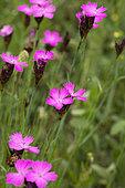 Carthusian pink (Dianthus carthusianorum) flowers