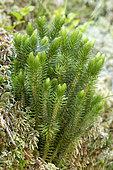 Northern fir-moss (Huperzia selago)