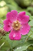 Mandarin Rose (Rosa moyesii), flower