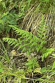 Black spleenwort(Asplenium adiantum-nigrum)