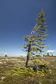 European spruce (Picea abies) deformed by wind and layered on the ground, gazon du Faing, Haut-Rhin, France