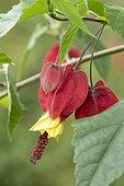 Trailing abutilon (Abutilon megapotanicum), flower