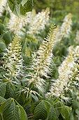 Bottlebrush buckeye (Aesculus parviflora), flowers