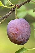 Damson plum (Prunus domestica subsp. insititia, fruit