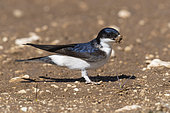 Common House Martin (Delichon urbicum meridionale), side view of an adult collecting mud for the nest, Abruzzo, Italy