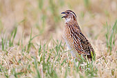 Common Quail (Coturnix coturnix), side view of an adult male singing, Campania, Italy