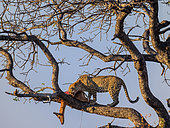 Awesome leopard (Panthera pardus) in a tree with its Impala (Aepyceros melampus) kill. Mpumalanga. South Africa.