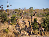 South African giraffe or Cape giraffe (Giraffa camelopardalis giraffa) herd in dry riverbed, Jock Safari Lodge, Kruger, South Africa.