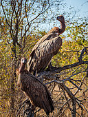 White-backed vulture (Gyps africanus) on dead tree, Kruger, Mpumalanga, South Africa.