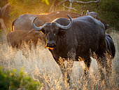 African buffalo or Cape buffalo (Syncerus caffer) in glorious afternoon light. Mpumalanga. South Africa.