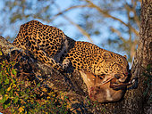 Awesome leopard (Panthera pardus) in a tree with its Bushbuck {Tragelaphus Scriptus} kill.. Mpumalanga. South Africa.