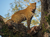 Awesome leopard (Panthera pardus) in a tree with its Bushbuck (Tragelaphus Scriptus) kill, Mpumalanga. South Africa.