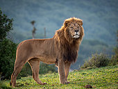 Lion (Panthera leo). Eastern Cape. South Africa