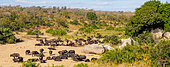 African buffalo or Cape buffalo (Syncerus caffer) herd in dry riverbed. Jock Safari Lodge. Kruger National Park. Mpumalanga. South Africa.