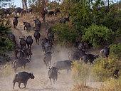 African buffalo or Cape buffalo (Syncerus caffer). Jock Safari Lodge. Kruger National Park. Mpumalanga. South Africa.