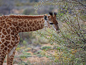 South African giraffe or Cape giraffe (Giraffa camelopardalis giraffa) browsing (feeding). Karoo, Western Cape, South Africa.