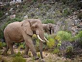 African bush elephant or African savanna elephant (Loxodonta africana). Sanbona Wildlife Reserve, Karoo, Western Cape. South Africa