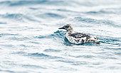 Black Guillemot (Cepphus grylle) on the water in internuptial plumage in the Shetland Islands