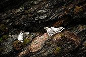 Northern Fulmar (Fulmarus glacialis) on a cliff in the Shetland Islands