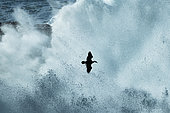 Crested Cormorant (Phalacrocorax aristotelis) flying in the fury of the waves on a stormy day, France