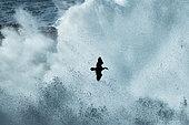 Cormoran huppé (Phalacrocorax aristotelis) en vol dans la furie des vagues, un jour de tempête, France