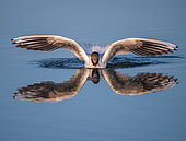 Mouette rieuse (Chroicocephalus ridibundus) se posant sur l'eau avec son reflet, France