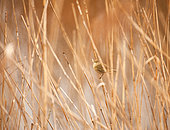 Siberian Chiffchaff (Phylloscopus collybita) resting on a reed in a reedbed in Morbihan, Brittany, France
