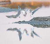 Common Terns (Sterna hirundo) fighting at sunrise on the Noirmoutier colony, Pays de la Loire, France
