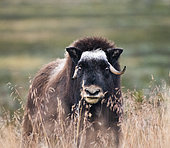 Musk ox (Ovibos moschatus), young ox in Dovrefjell National Park, Norway