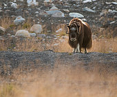 Musk ox (Ovibos moschatus), male ox in Dovrefjell National Park, Norway