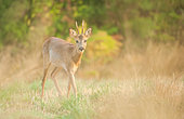 Deer (Capreolus capreolus), Curious buck on approach in a meadow of Morihan, Brittany, France