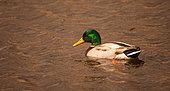 Mallard (Anas platyrhynchos) adult male in bridall plumage in a marsh in Morbihan, Brittany, France
