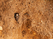 Sand Martin (Riparia riparia) laid at the exit of its nest, France