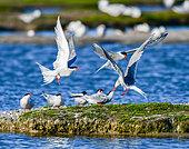 Common Terns (Sterna hirundo) fighting on the Noirmoutier colony, Pays de la Loire, France