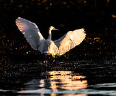 Little Egret (Egretta garzetta) landing on rocks at low tide in the evening to fish for crabs, Brittany, France