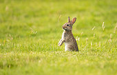 Wild rabbit (Oryctolagus cuniculus), young individual in a meadow in Brittany, France