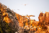 Northern Gannet (Morus bassanus) flying at dawn in the colony of the 7 islands, Brittany, France