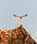 Northern Gannet (Morus bassanus) landing at dawn in the colony of the 7 islands, Brittany, France