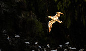 Northern Gannet (Morus bassanus) flying at dawn from the colony of the 7 islands, Brittany, France