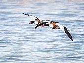 Common Shelduck (Tadorna tadorna), couple flying in the marshes of Morbihan, Brittany, France