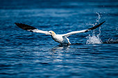 Northern Gannet (Morus bassanus), taking off from the surface of the water in the archipelago of the 7 islands, Brittany, France
