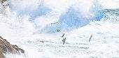 Goéland argenté (Larus argentatus ) en vol dans les vagues durant une tempête sur la pointe du Raz, Bretagne, France