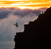 Herring Gull (Larus argentatus ) landing at sunrise in the clouds, Brittany, France