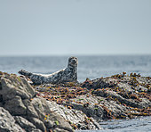 Grey seal (Halichoerus grypus), seal pup on rock, 7 Islands Archipelago, Brittany, France