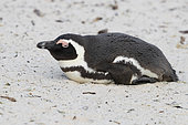 African Penguin (Spheniscus demersus), adult lying down on the sand, Western Cape, South Africa