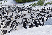 African Penguin (Spheniscus demersus), colony at Boulders Beach, Western Cape, South Africa